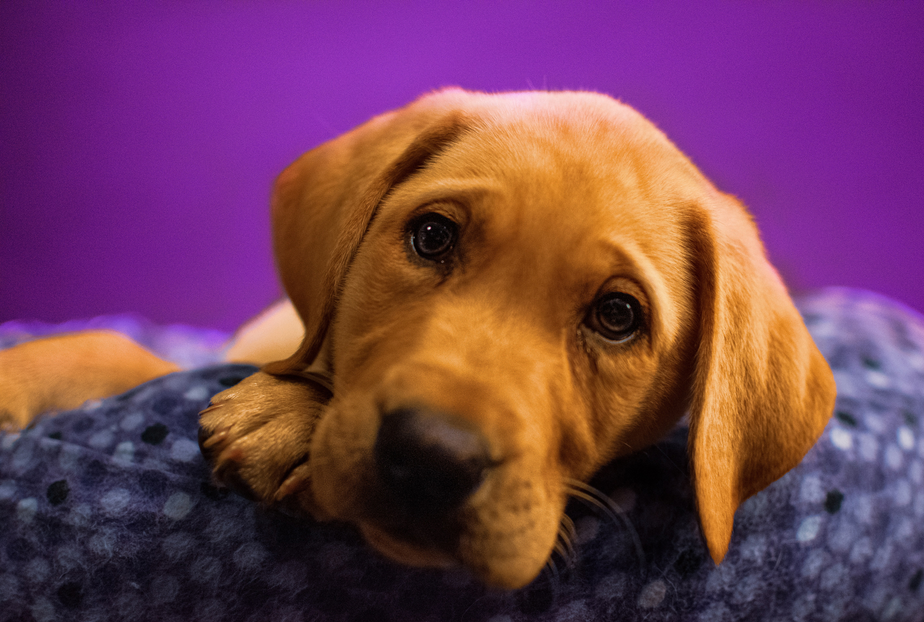 A golden Labrador, in an article about the best dog breed depending on your personality type