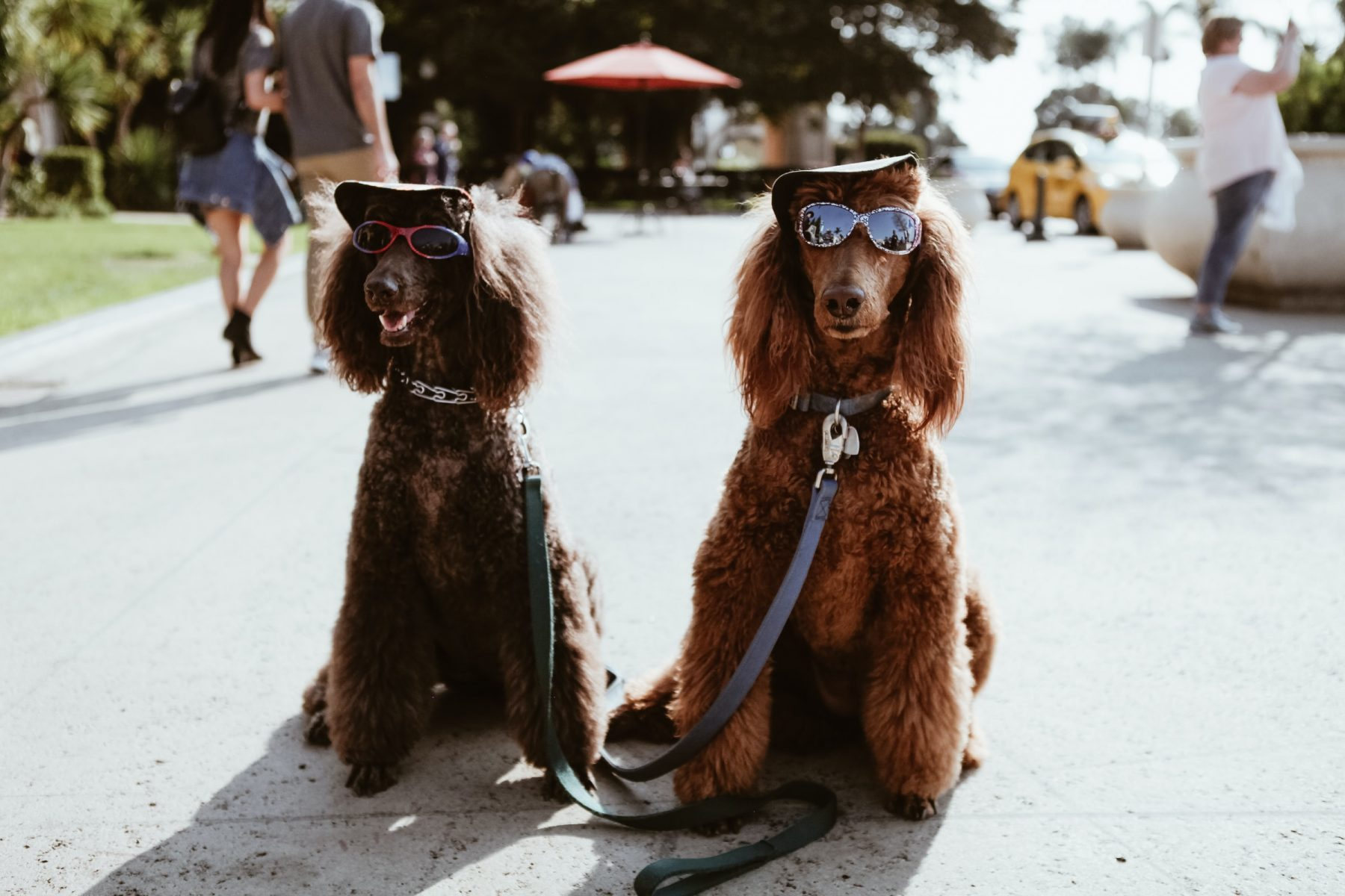 In an article about the what animal are you Instagram trend, a photo of two poodles in sunglasses