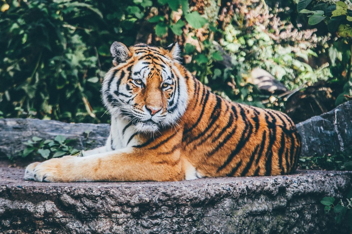 photo of a tiger in the wild for article about man-eating tigers